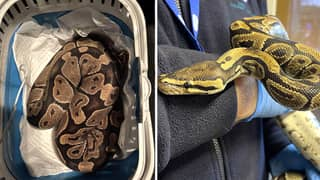 Couple In England Found Lost 4ft Python Behind Their Tumble Dryer