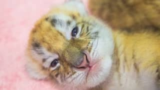 Extremely Rare Golden Tiger Cubs Born In Chinese Zoo
