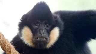 Gibbon In London Zoo Has Started Singing To Himself To Cope With Loneliness