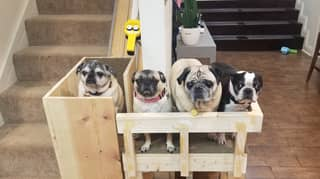 Woman Builds Stair Lift So Her Elderly Rescue Pugs Can Get Upstairs