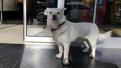 Loyal Dog Waits For Days Outside Hospital For Sick Owner