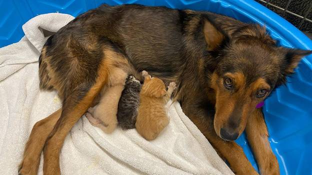 Dog Adopts Litter Of Kittens After Tragically Losing Her Own Puppies