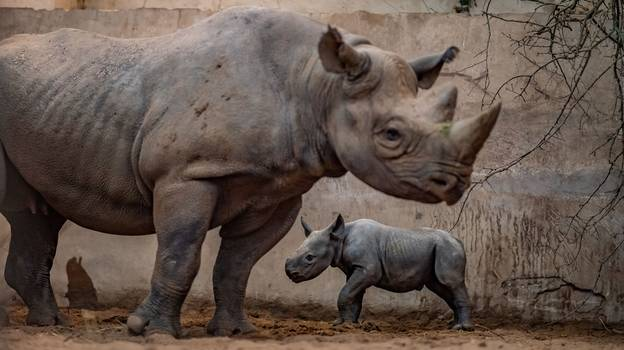 Incredible Moment Critically Endangered Rhino Gives Birth At Chester Zoo