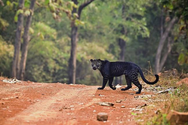 The melanistic is incredibly rare (Credit: Caters)