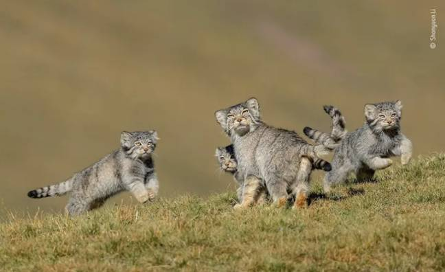 Shanyuan Li's 'When Mother Says Run' (Credit: Wildlife Photographer of the Year)