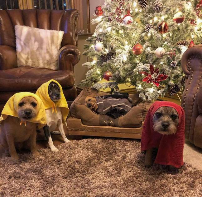 Three pooches have created a hilarious nativity scene - and they look so cute (Credit: Caters)