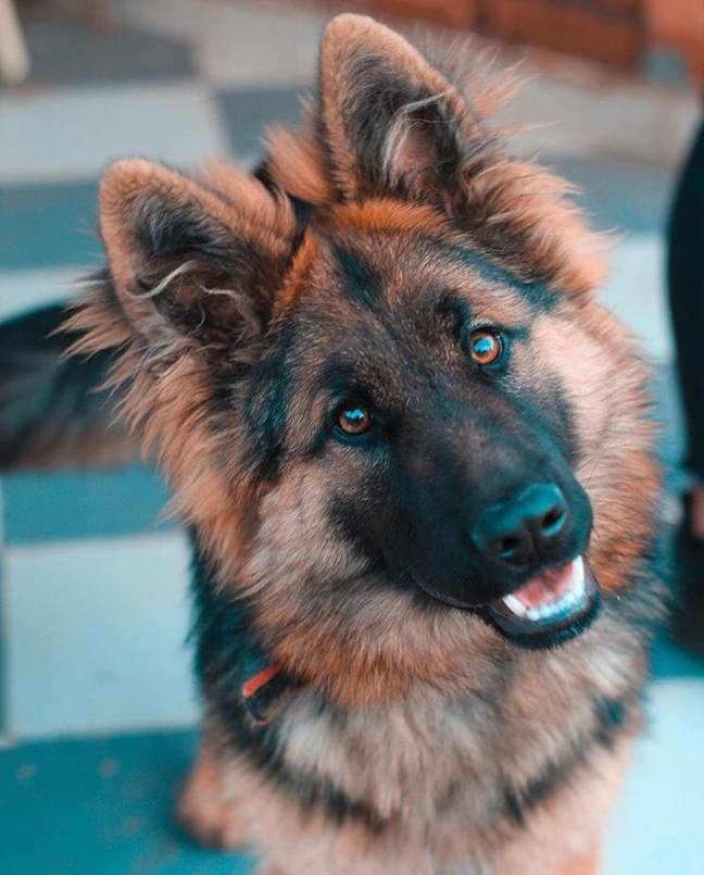 The German Shepherd breed was found to be less aggressive than smaller dogs (Credit: Unsplash)