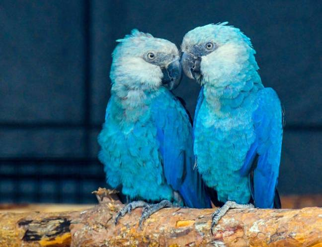 The Spix's Macaw was also declared extinct despite finding fame in 2011 film Rio. (Credit: PA)