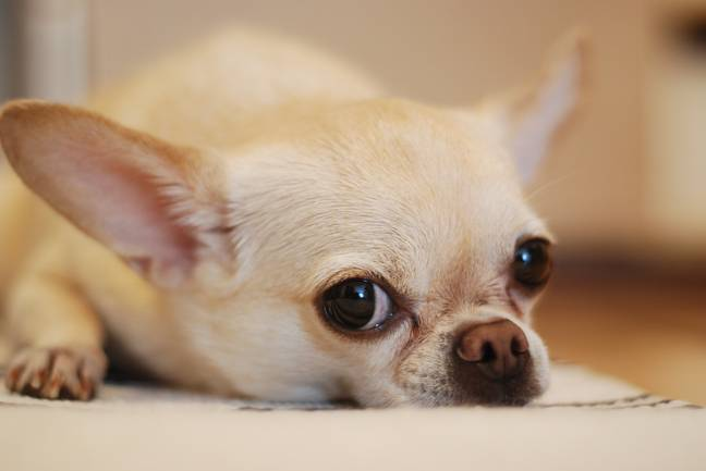 For small breeds like chihuahuas large amounts of chocolate can be deadline (Credit: Pexels)