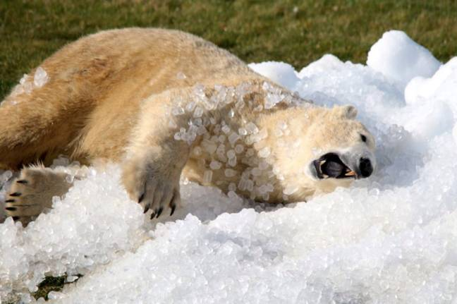 The polar bears will put a smile on your face (Credit: Yorkshire Wildlife Park)