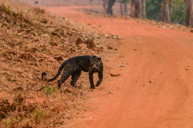 The leopard can be seen crossing a safari way and then staring straight at the camera (Credit: Caters)