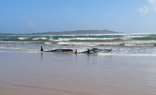 Rescue efforts are still underway to save the remaining whales (Credit: Shutterstock)