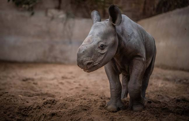 In the wild, the eastern black rhinos are found only in Kenya, Tanzania and Rwanda (Credit: SWNS)
