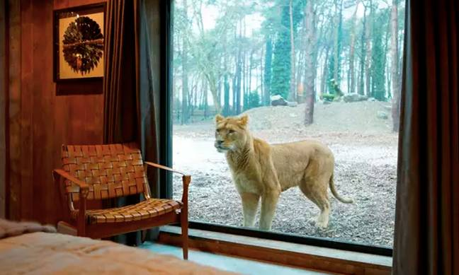 There are also lion, tiger and bear lodges (Credit: Aspinall Foundation)