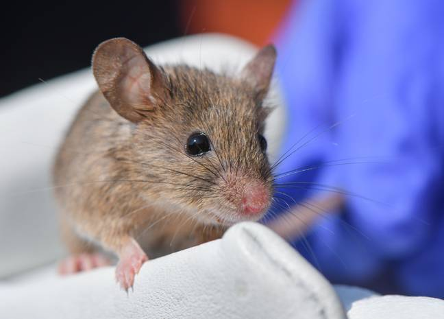 Scientists successfully cured mice of cervical cancer Credit: PA