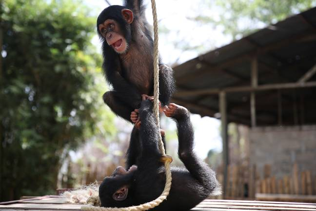 Wild chimpanzee mothers are often killed for bush meat, while their babies are traded illegally as expensive pets (Credit: BBC)