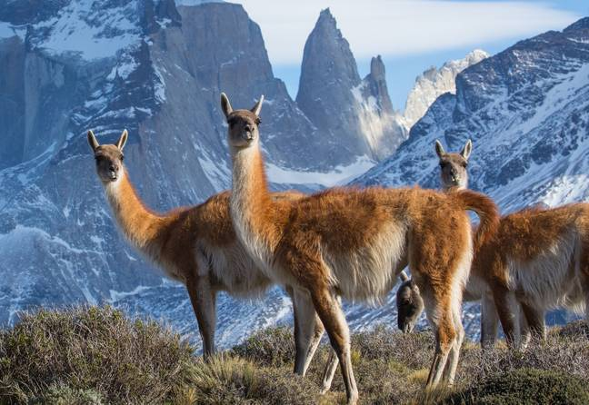 Episode two will feature Guanaco who have been snapped here in the Torres del Paine National Park, Chile. (Credit: BBC NHU/Chadden Hunter)