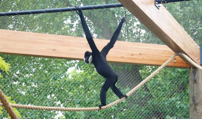 The gibbon now sings to himself (Credit: Caters)