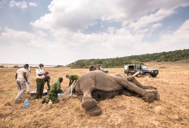 The poor elephant was spotted by conservationists (Credit: Caters)
