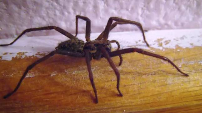 The trick is meant to keep spiders at bay (Credit: Wikimedia Commons)