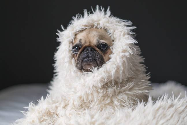 You can be as cosy as this cosy pug (Credit: Unsplash)