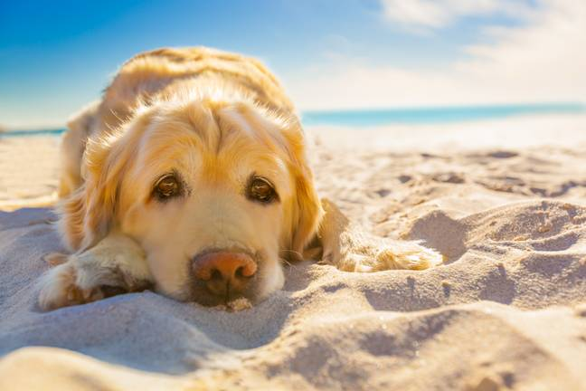 Dogs can suffer sunburn too (Credit: Shutterstock)