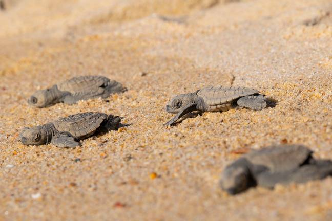 Olive Ridley Sea Turtles in Mexico (Credit: Shutterstock)