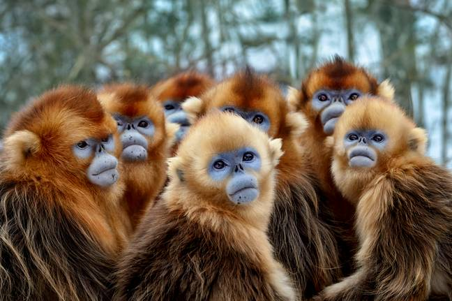 These Golden snub-nosed monkeys were filmed for the series in China. (Credit: BBC NHU/Nick Green)