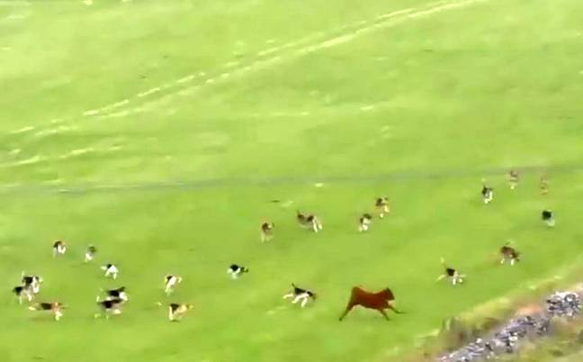 The calf had to jump over walls to escape (Credit: SWNS)
