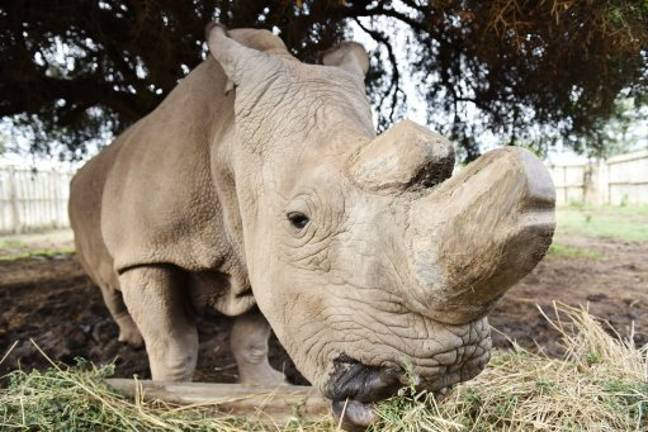 Sudan the last male northern white rhino died in March 2018. (Credit: PA)