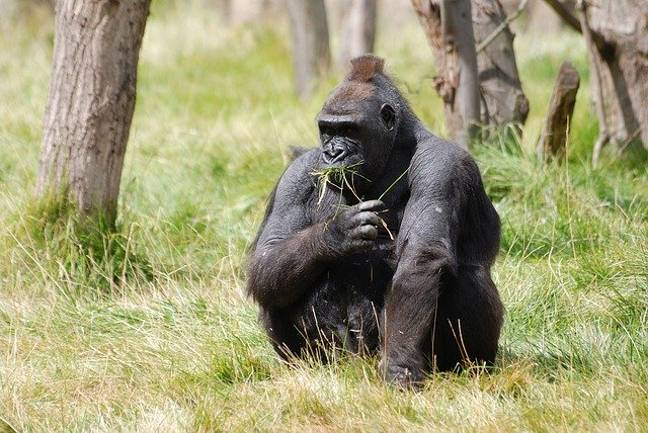 The mountain gorillas of Rwanda were once close to extinction but there are now more than 1,000 (Credit: Pixabay)