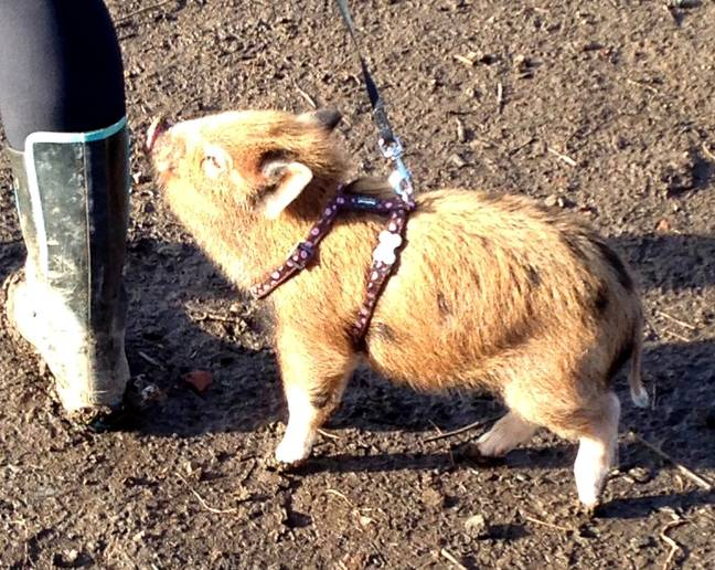 Grace the pig started off tiny but she's grown massively in size Credit: SWNS