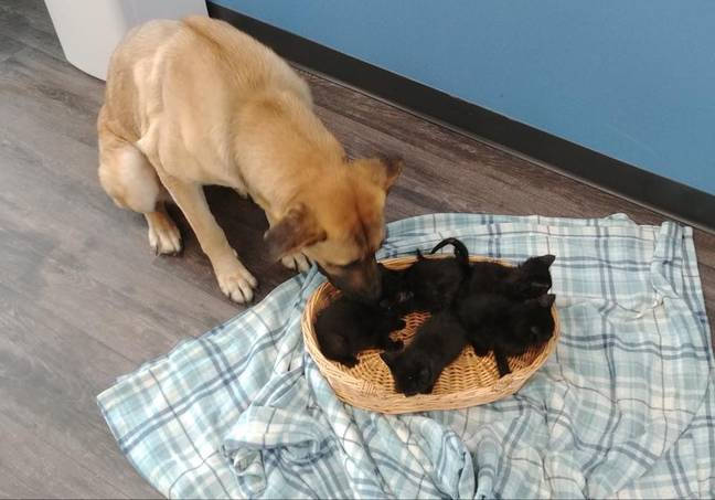 The kind pup was discovered guarding the five baby cats by a good citizen. (Credit: Pet And Wildlife Rescue)