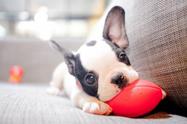 The vet revealed they had been forced to put a healthy pup to sleep (Credit: Shutterstock)