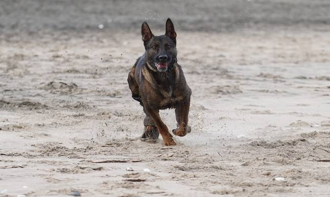 Kuno assisted his handler on a mission (Credit: PDSA)