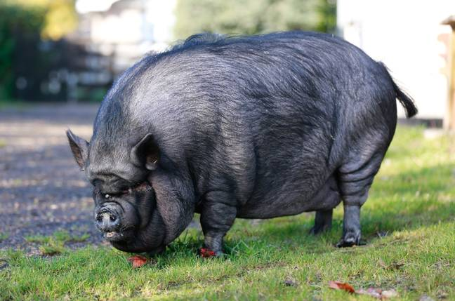 Twiglet the pig weighed a whopping 30 stone when it was rescued by firefighters in September (Credit: SWNS)
