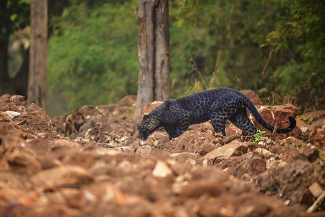 Anurag had waited two years to spot the rare leopard (Credit: Caters)
