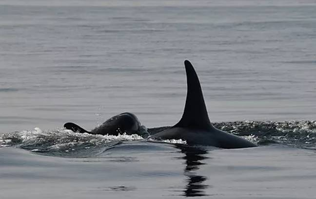 Tahlequah has given birth to a new calf (Credit: Dave Ellifrit/Center for Whale Research)