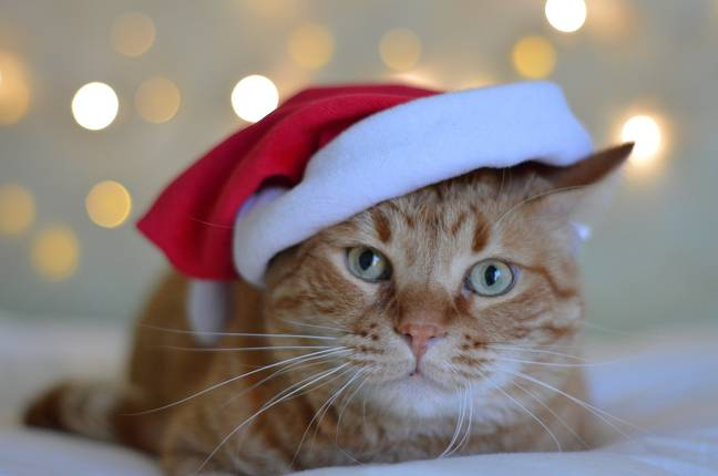 Come Christmas, your angelic felines can't resist the sight of baubles hanging on the tree. (Credit: Pixabay)