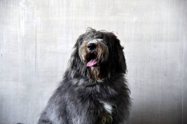 Arlo had 1.8kg of fur removed (Credit: SWNS)