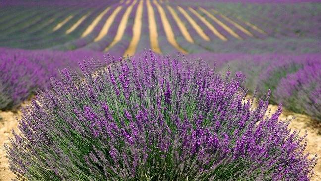 Mayfield lavender farm is open for the summer (Credit: Pixabay)