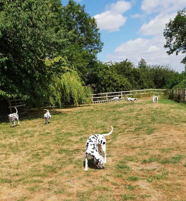Louise already had nine Dalmatians, which roam her home in Preston, Lancs (Credit: Caters)