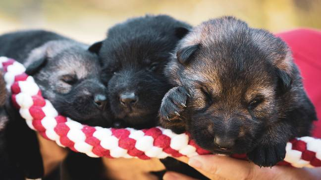 Puppies should be socialised by 16 weeks (Credit: Unsplash)