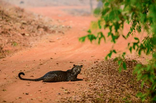 Wildlife photographer Anurag Gawande says he was just 30ft away from the leopard when he spotted the majestic black leopard (Credit: Caters)