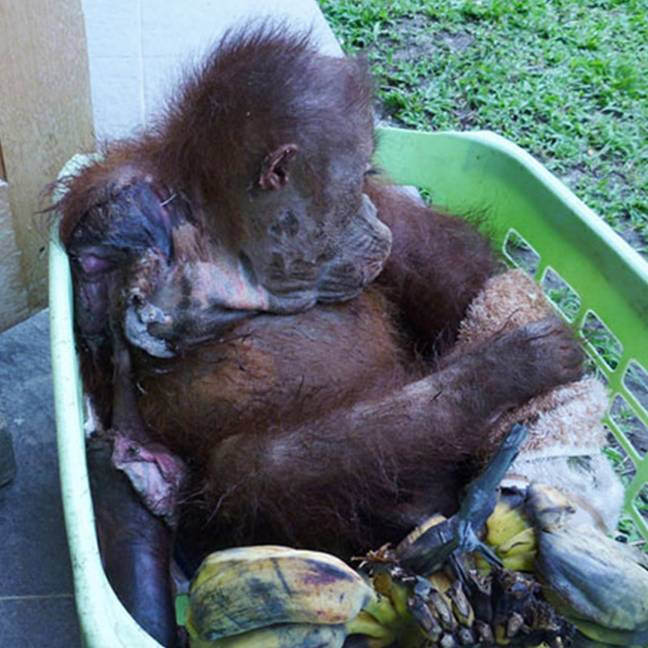 The orangutan suffered awful burns (Credit: Caters)
