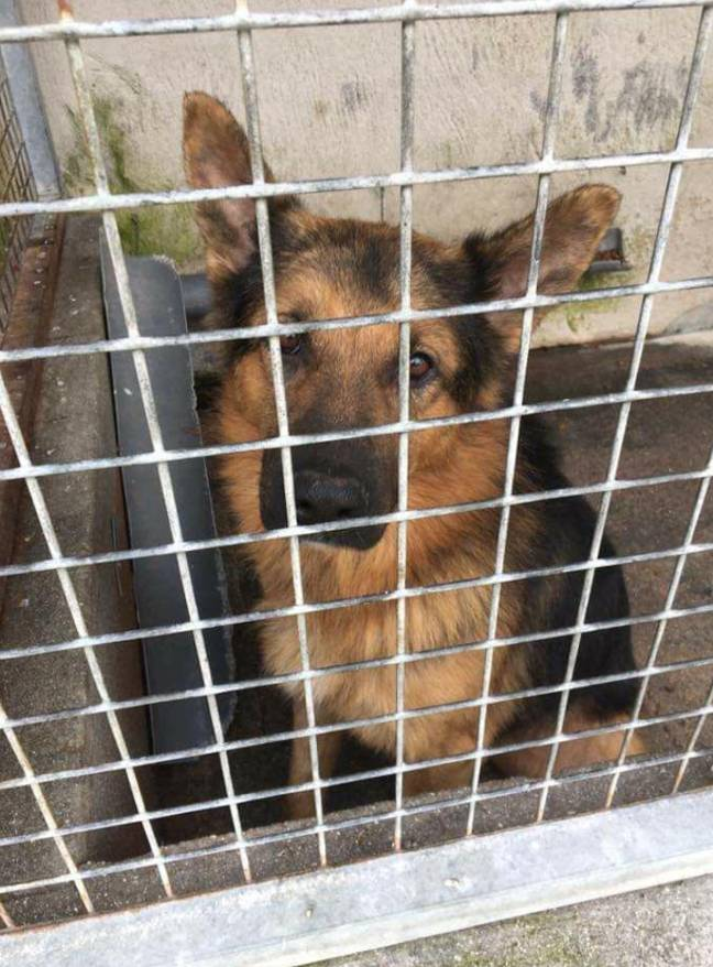 Paul and his wife Toni stumbled across their first rescue Belgian shepherd Shane in 2014 (Credit: SWNS)