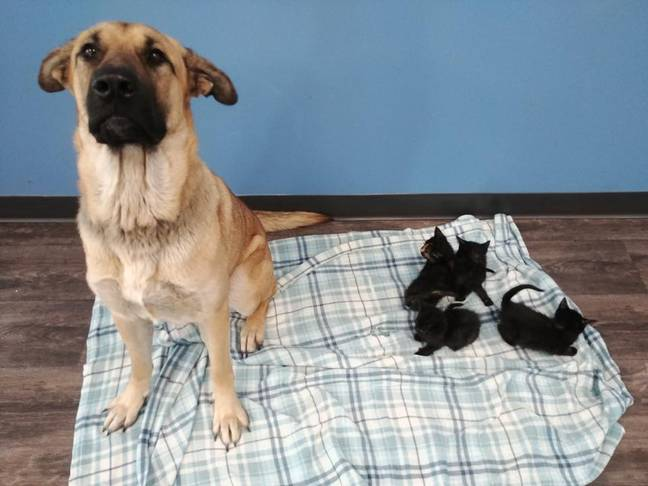 Stray dog Serenity saved five kittens. (Credit: Pet And Wildlife Rescue)