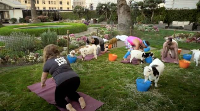 The trio are climbed on by goats as they do yoga (Credit: ITV)