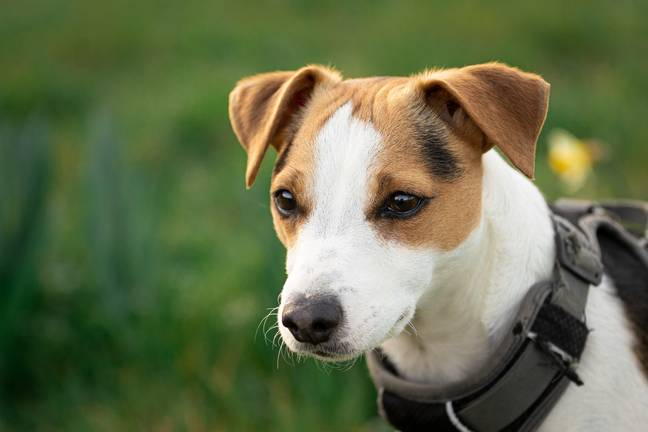 Jack Russell terriers have become one of the most in demand breeds among 'dognappers' (Credit: Pexels)