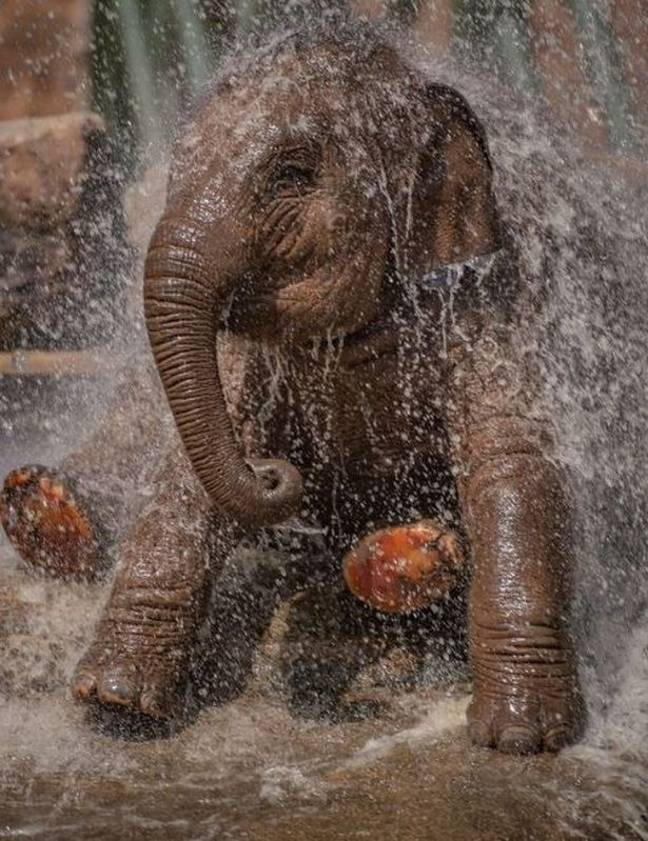 The events take place every Friday as part of a virtual tour of the well-known attraction and have been a hit with families (Credit: Chester Zoo)